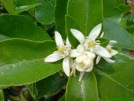 http://www.docelimao.com.br/images/flor-limao-AR.JPG