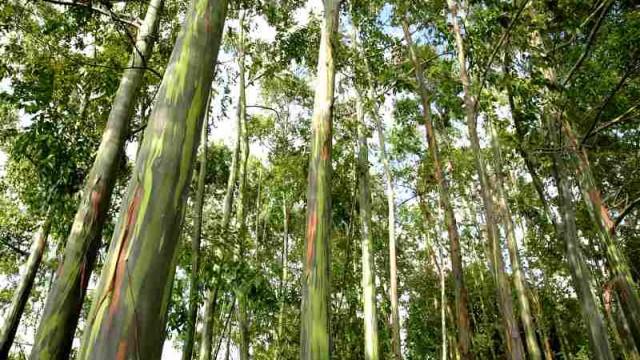 Resultado de imagem para eucaliptos