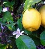 Limão Siciliano
